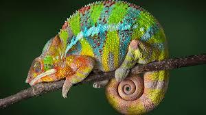 Do Chameleons Dream inMulticolor?